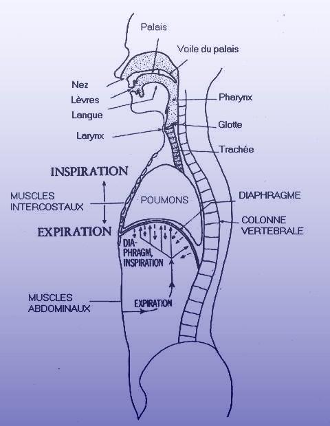 Organes de la Parole